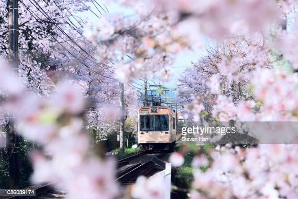 a train passing through cherry blossom trees - kyoto prefecture stock pictures, royalty-free photos & images