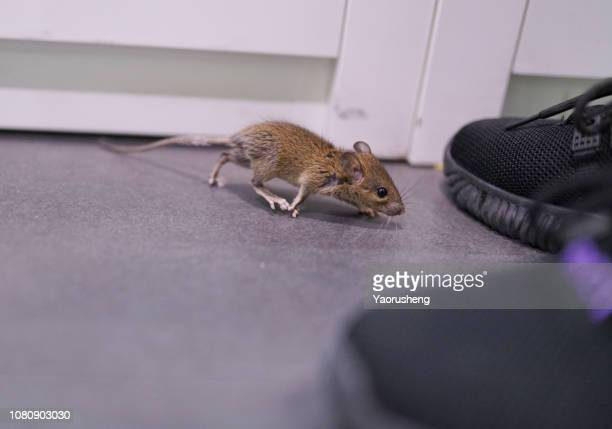 a traped mouse by people - 齧歯類 ストックフォトと画像