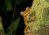 very pretty tree frog from amazon