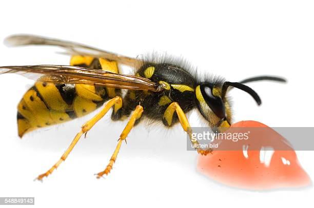 a wasp eats a jelly