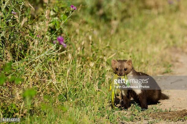 a weasel' Mustela nivalis,  hunting lezards, Camargue, France