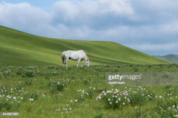 a white horse grazing on bashang grasslands,inner mongolia - grazing stock pictures, royalty-free photos & images