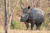 rhino africa is waking around looking