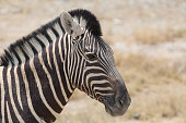 some zebra walking around looking for