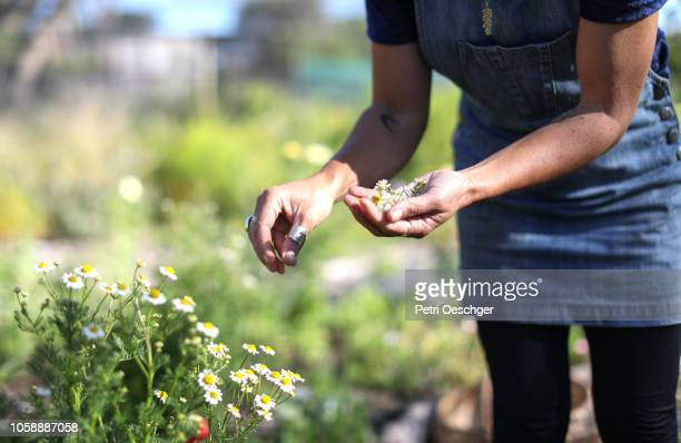 a woman foraging for edible flowers. - sustainable development goals stock pictures, royalty-free photos & images