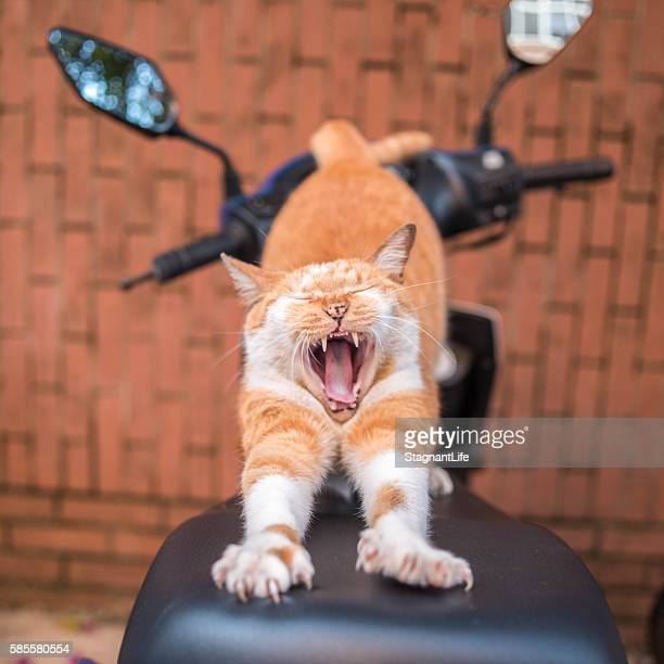 a yawning cat on the motorcycle - moto humour photos et images de collection