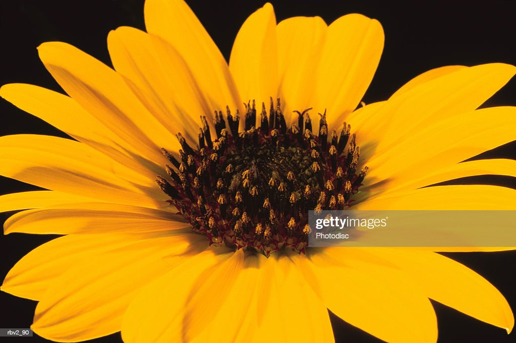 a yellow sunflower with a brown center opens up in front of a black background : Foto de stock