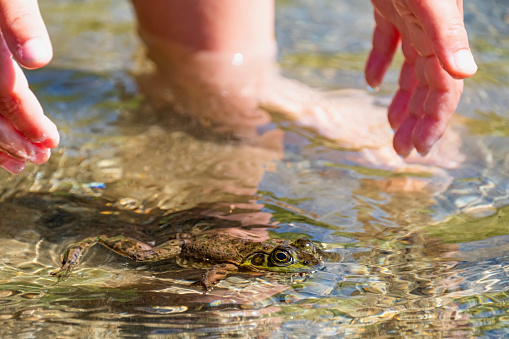 a young child wants to grab the frog, the green Frog is floating on the surface of the water. Sproat Lake Provincial Park, Vancouver Island, Canada 1206778278