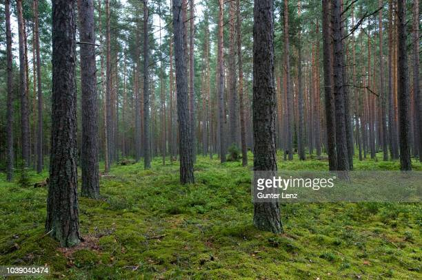 aabla raba, pine forest in lahemaa national park, estonia, baltic states, northeast europe - northeast stock photos and pictures