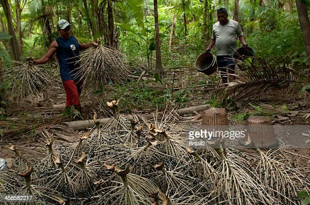 açai harvesting - acai stock pictures, royalty-free photos & images