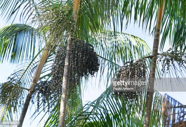Açai Palm at Amazon Rainforest in Brazil