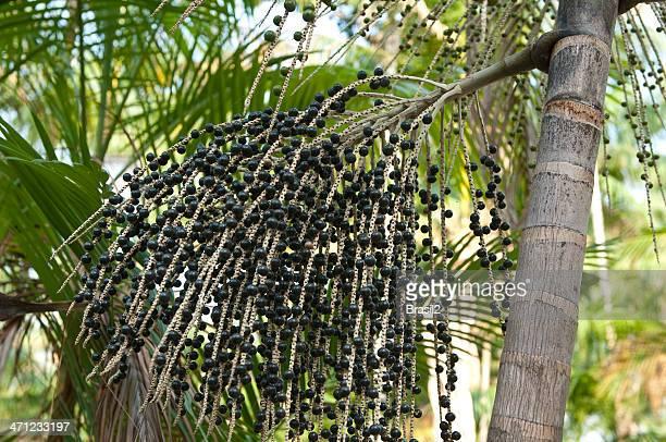 Açai Palmeira
