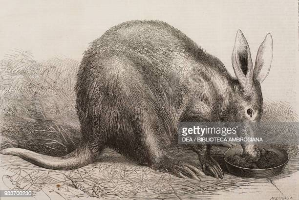 Aardvark , at the Zoological Society's Gardens, Regent's Park, London, United Kingdom, illustration from the magazine The Illustrated London News,...
