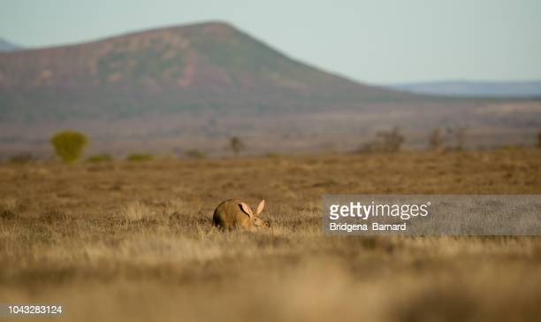 aardvark in the bush, eastern cape, south africa - aardvark stock pictures, royalty-free photos & images