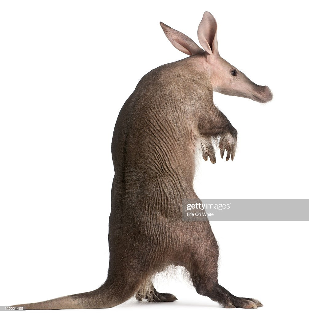 Aardvark - Orycteropus afer : Foto de stock