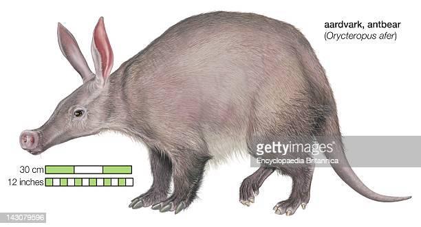 Aardvark .
