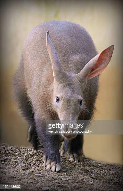 aardvark - tamandua ameisenbär stock-fotos und bilder