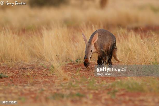 aardvark (orycteropus afer) walking through grass in kalahari desert, south africa - aardvark stock pictures, royalty-free photos & images