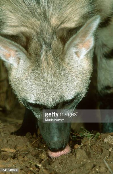 Aardwolf Feeding on Harvester Termites