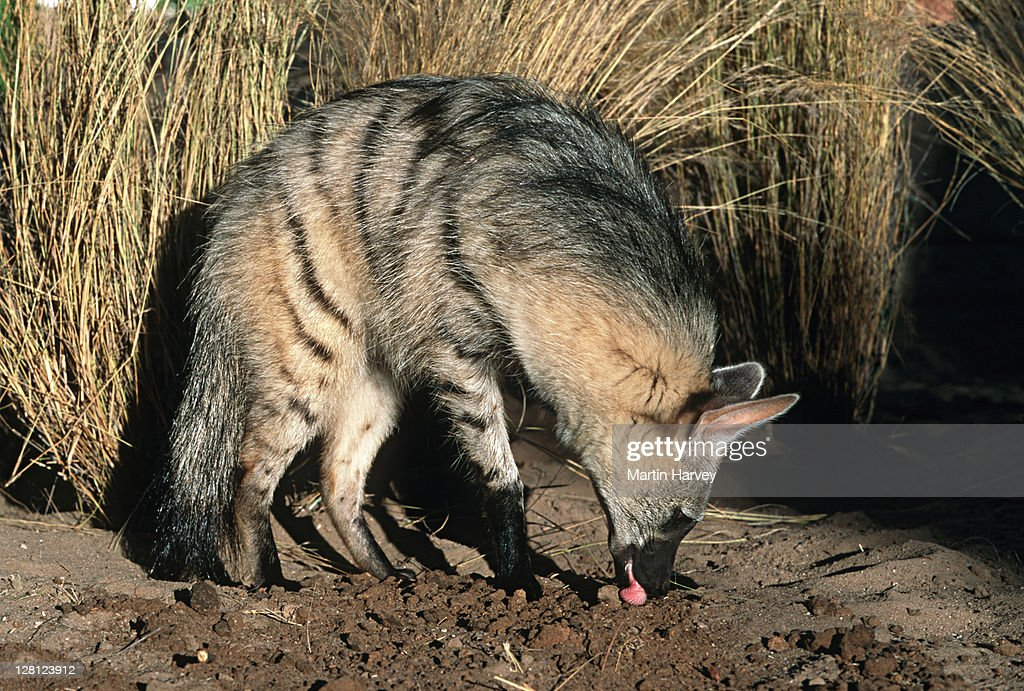 Aardwolf (Proteles cristatus) hunting, side view, Africa : Stock-Foto