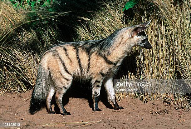 Aardwolf (Proteles cristatus) hunting, side view, Africa