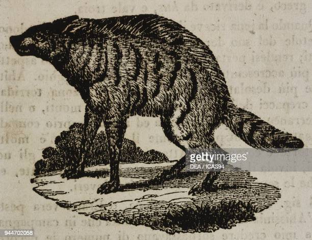 Aardwolf illustration from Teatro universale Raccolta enciclopedica e scenografica No 104 June 25 1836
