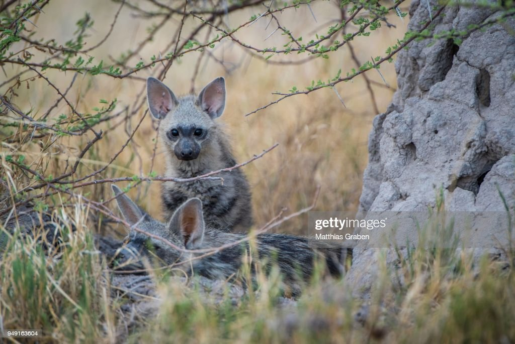 Aardwolf (Proteles cristatus), Kitten, Nxai Pan National Park, Ngamiland District, Botswana : Stock Photo