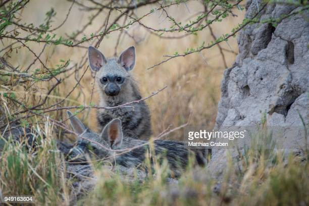 Aardwolf (Proteles cristatus), Kitten, Nxai Pan National Park, Ngamiland District, Botswana