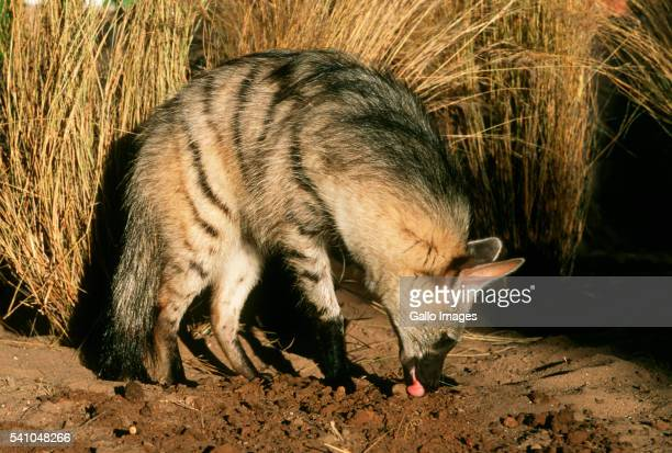 Aardwolf Looking for Termites