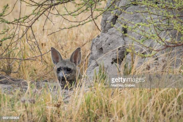 Aardwolf (Proteles cristatus) looks out from behind a rock, Nxai Pan National Park, Ngamiland District, Botswana