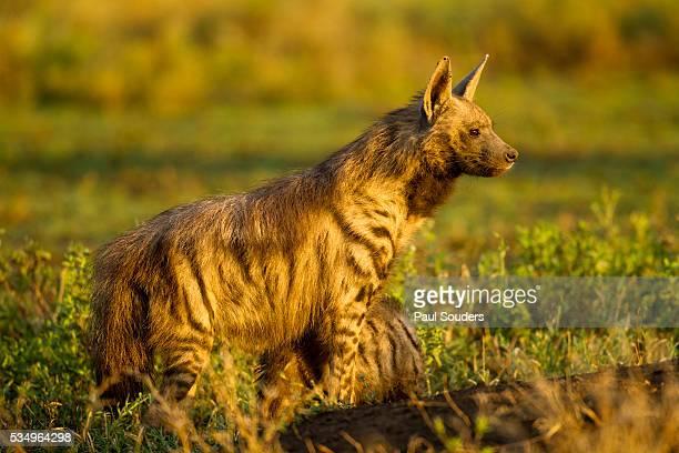 Aardwolf, Ngorongoro Conservation Area, Tanzania