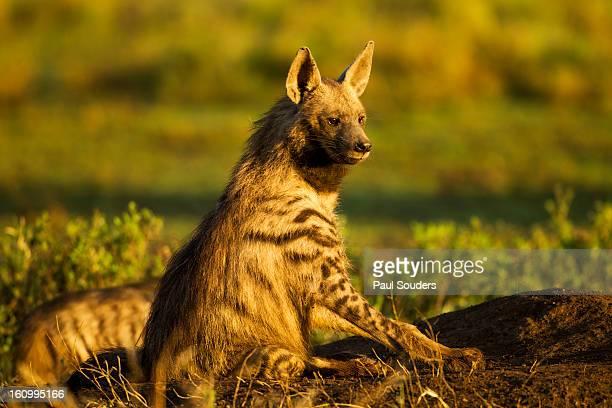 Aardwolf, Ngorongoro, Tanzania