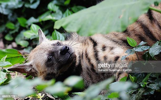 Aardwolf Relaxing On Field