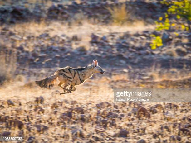 Aardwolf Running In Arid Landscape, Palmwag Concession, Namibia