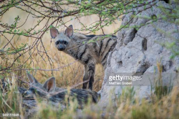 Aardwolf (Proteles cristatus), young stands behind rocks, Nxai Pan National Park, Ngamiland District, Botswana