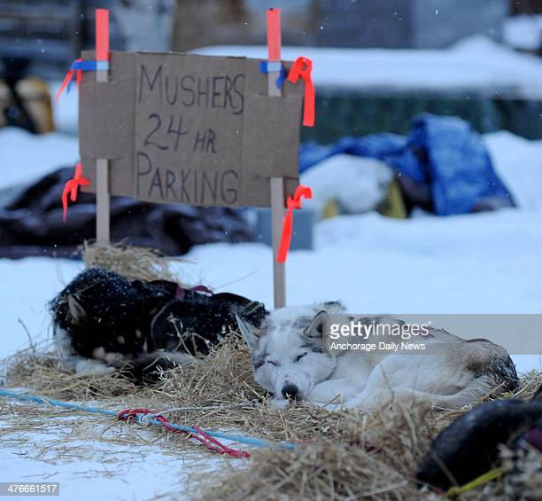 Aaron Burmeister's sled dogs rest at the Nikolai checkpoint during the 2014 Iditarod Trail Sled Dog Race on Tuesday March 4 in Alaska