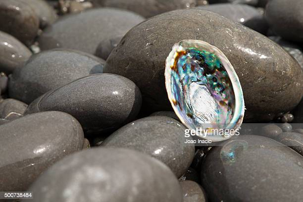 Abalone shell at a rocky beach