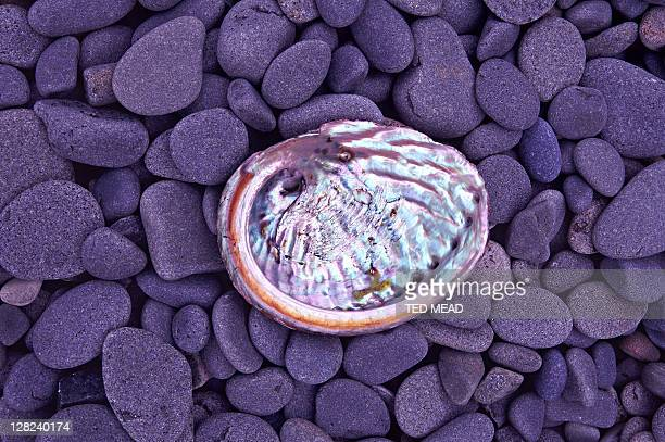 abalone shell with pearly interior on rocky beach