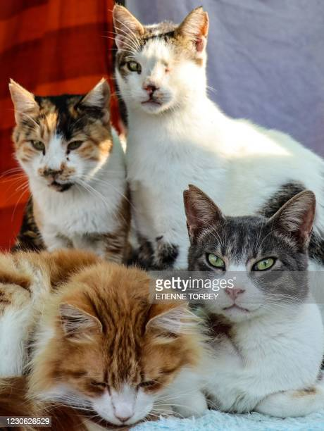 Abandoned cats gather at Tala Cats rescue centre, on land owned by the Ayios Neofytos Monastery, in the Cypriot village of Tala near Paphos on...