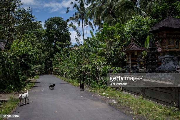 Abandoned dogs are seen at North Duda village on October 3 2017 in Karangasem regency Island of Bali Indonesia Nearly 145000 Indonesian villagers...