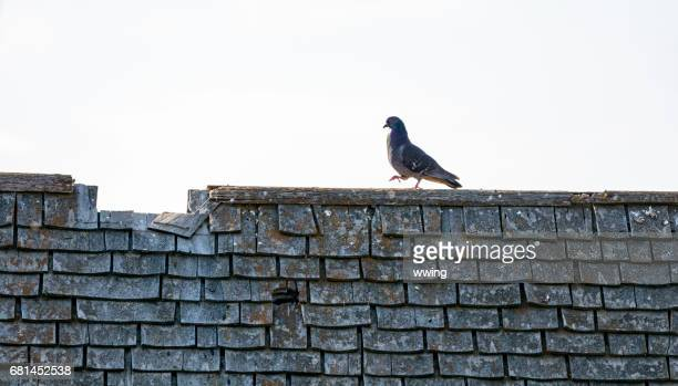 Abandoned farm building roof and pigeon