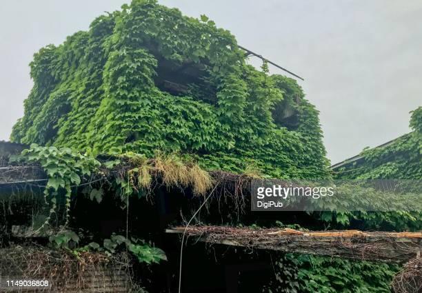 abandoned house covered by creeper plants in the rain - edera foto e immagini stock