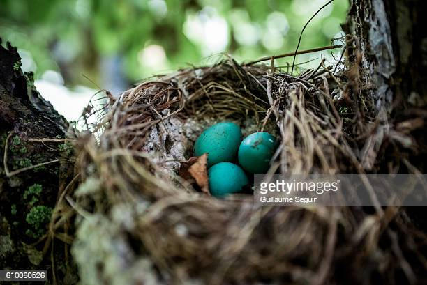 abandoned nest - blue cardinal bird stock pictures, royalty-free photos & images