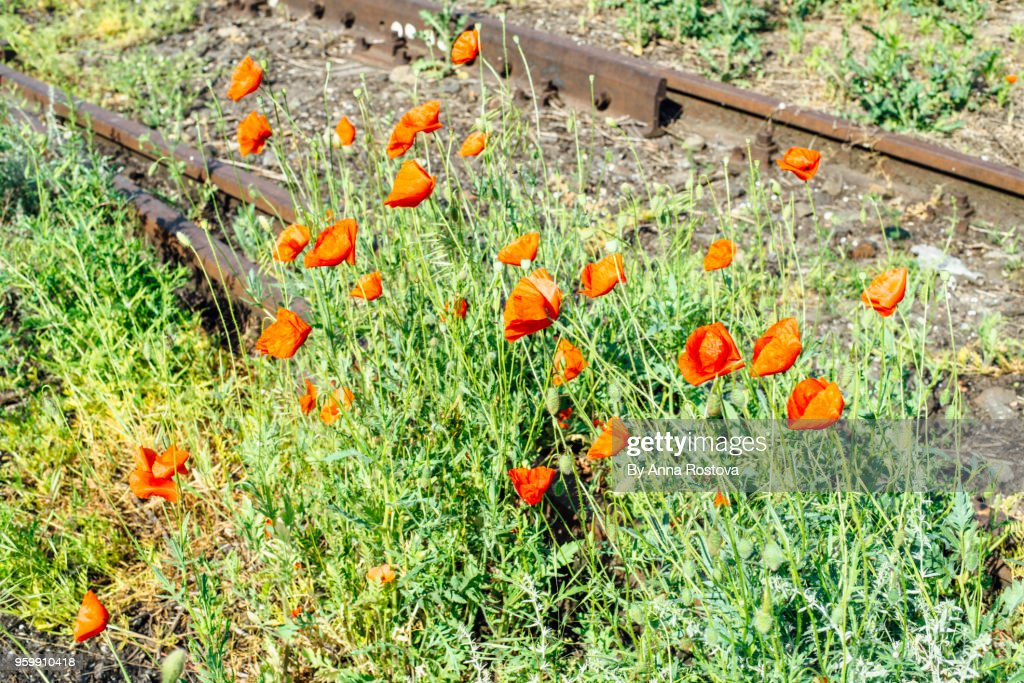 Abandoned railroad with wild poppies growing in summer : Stock-Foto