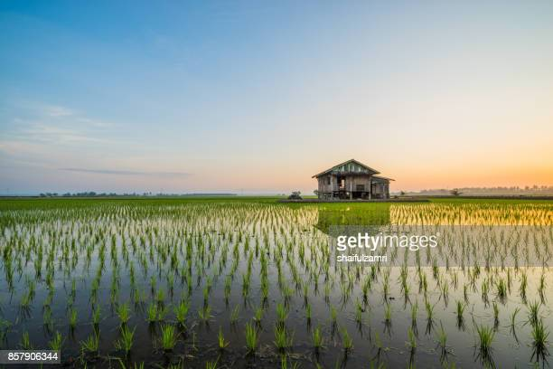 abandoned wooden house in middle of paddy field with a sunrise sky in the background. - shaifulzamri 個照片及圖片檔