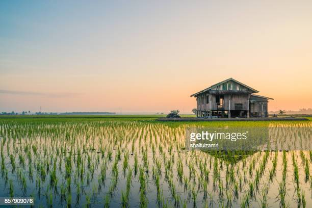 abandoned wooden house in middle of paddy field with a sunrise sky in the background. - shaifulzamri stock pictures, royalty-free photos & images