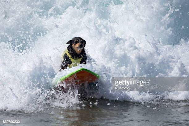 Abbie Australian Kelpie rides a wave during the Surf City Surf Dog competition in Huntington Beach California on September 23 2017 Over 40 dogs from...