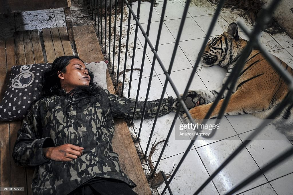 Abdullah Sholeh sleeps beside 8-year-old Bengal tiger Mulan Jamilah, although metal bars have been put in place to separate them, on January 09, 2015 in Malang, Indonesia.