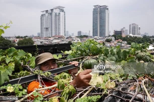 Abdurrahman practising urban farming on the top of his house as a solution to land shortage in Jakarta, Indonesia on October 15, 2020. To mark this...