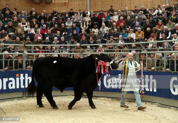 Aberdeen Angus bull and Overall show champion Idvies Ferrari is paraded in the sale ring at the Stirling Bull Sales at Stirling Agricultural Centre...